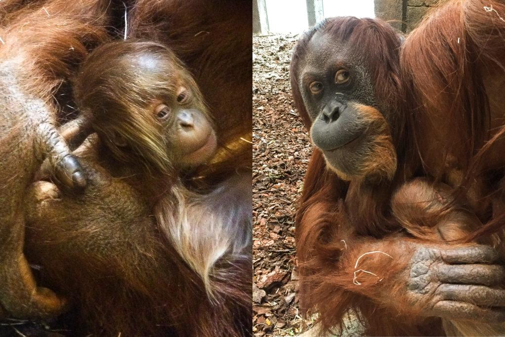 Utrotningshotad orangutang född i Furuvik